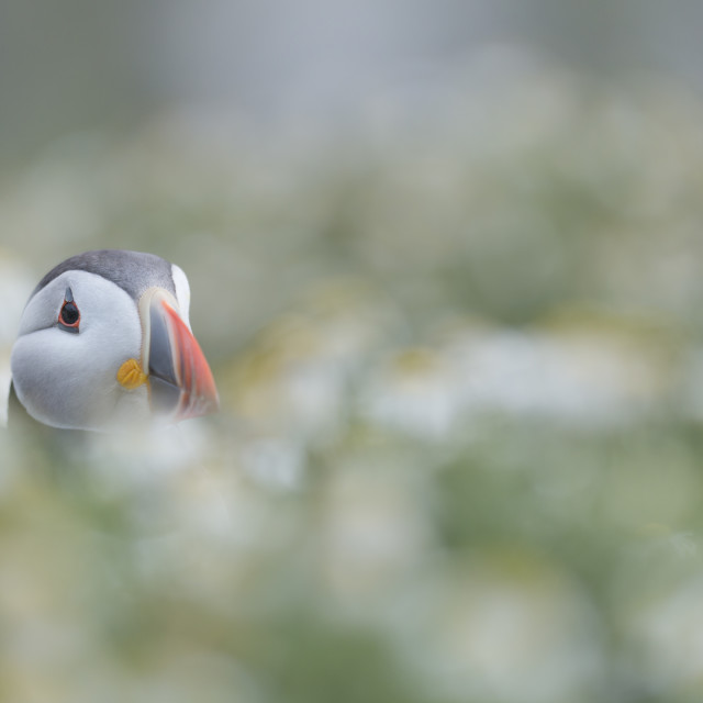 """Wildflower Puffin"" stock image"