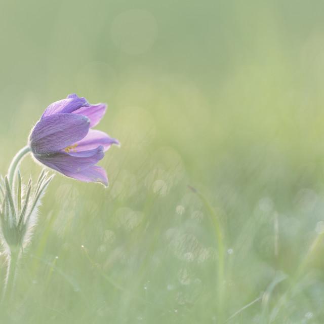 """Pasque Flower"" stock image"