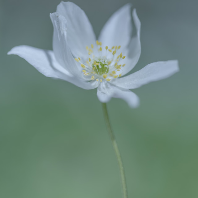 """Lone Wood Anemone"" stock image"