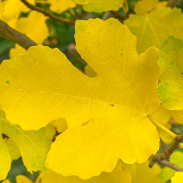 """""""Fig leaf"""" stock image"""