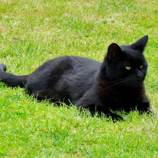 """Black Cat In Green Grass"" stock image"