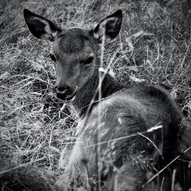"""Young Deer Lying Down"" stock image"