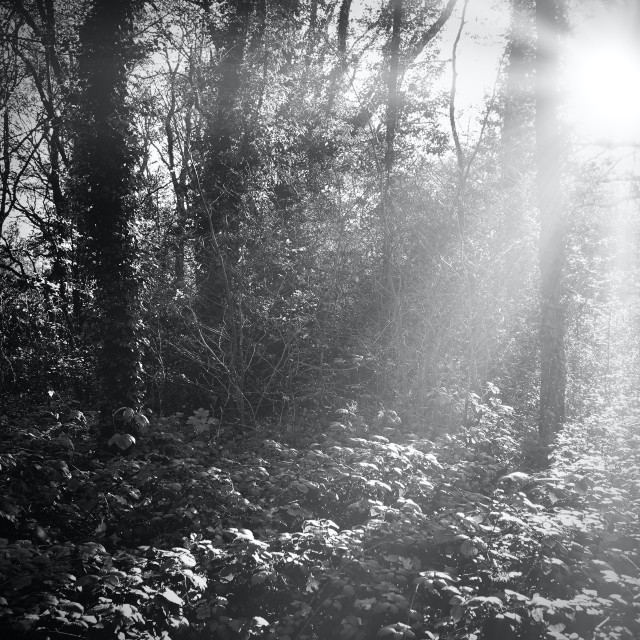 """""""Sunrays Through Wooded Area"""" stock image"""