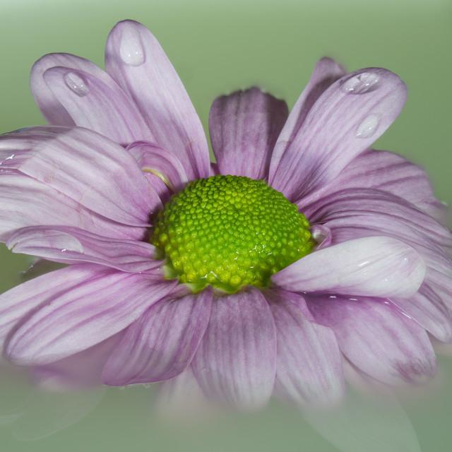 """a floating Pink Chrysanthemum"" stock image"