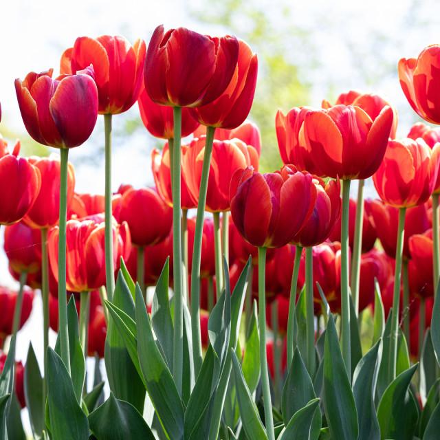 """Tulip. Festival. Nature. Flora. Garden. Plant. Red"" stock image"