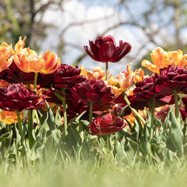 """Tulip. Festival. Orange. Nature. Garden. Flora. Plant"" stock image"