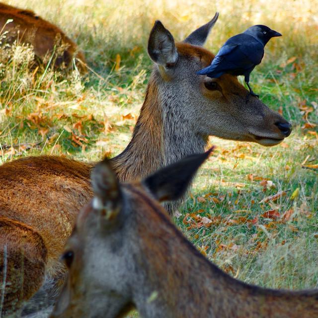 """Deer At Bushy Park"" stock image"