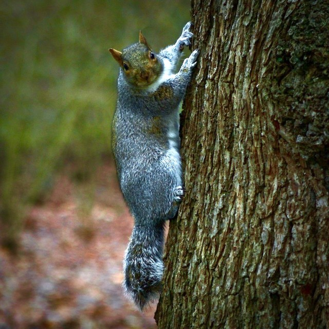 """""""Squirrel Climbing A Tree"""" stock image"""