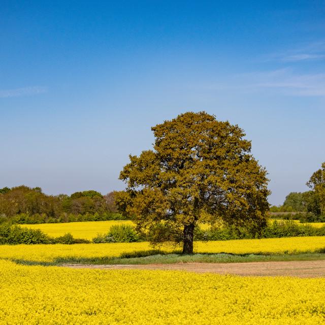 """The oak tree"" stock image"