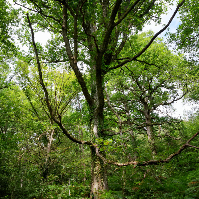 """Sage tree"" stock image"