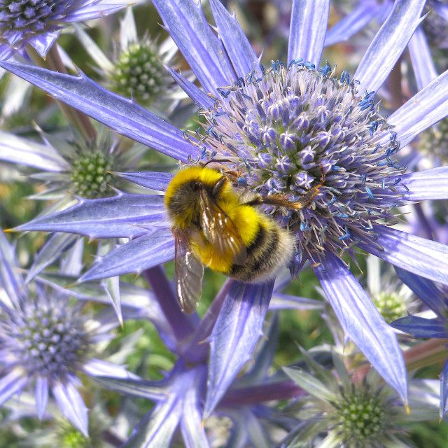 """Bumblebee on a blue thistle"" stock image"