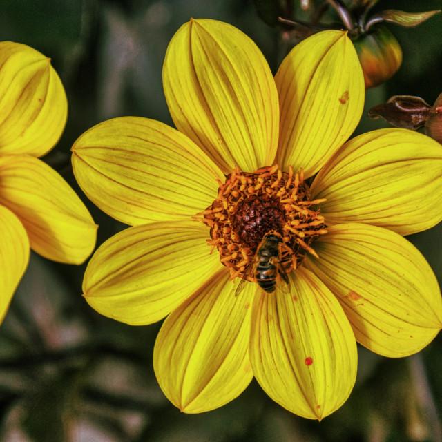 """Flower & Bee 1"" stock image"