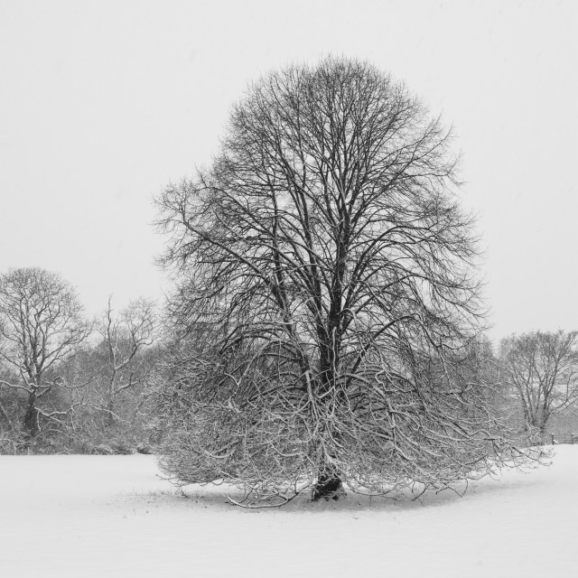 """""""Lone Tree in Winter"""" stock image"""