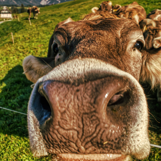 """""""Cow looking at you"""" stock image"""