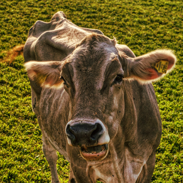 """""""Cow looking at you 2"""" stock image"""
