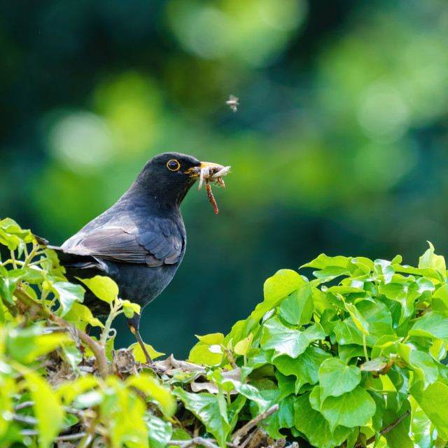 """""""Blackbird (Turdus merula) male on ivy hedge carrying worms to nest, taken in..."""" stock image"""
