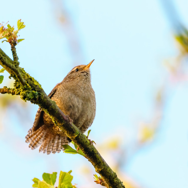 """""""Wren (Troglodytes troglodytes) perched on branch in early morning light,..."""" stock image"""