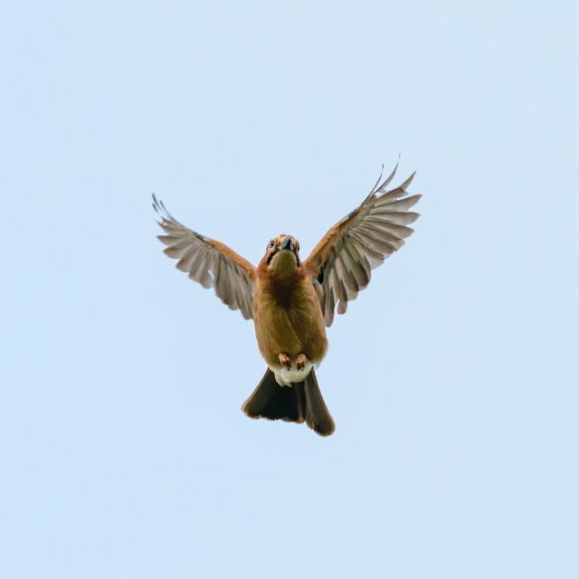 """Eurasian Jay (Garrulus glandarius) in flight, taken in London, England"" stock image"