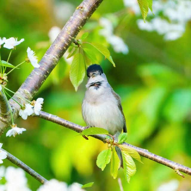 """Blackcap (Sylvia atricapilla) male looking at camera, perched am"" stock image"