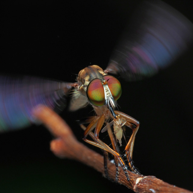 """""""Robberfly 02"""" stock image"""