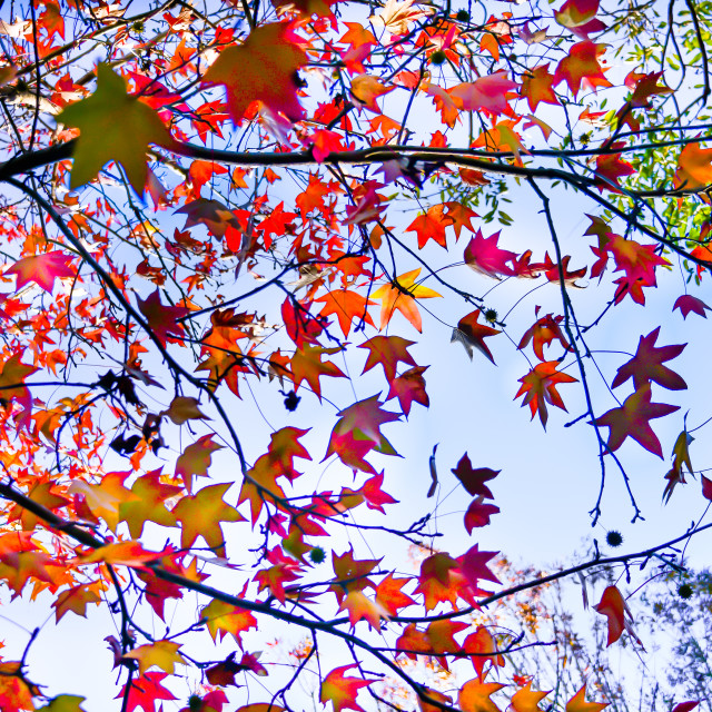 """Autumn Leaves Spectacular"" stock image"