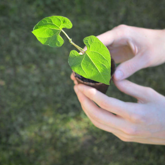 """""""close on hands o f a man holding seedling of bean growing in a p"""" stock image"""