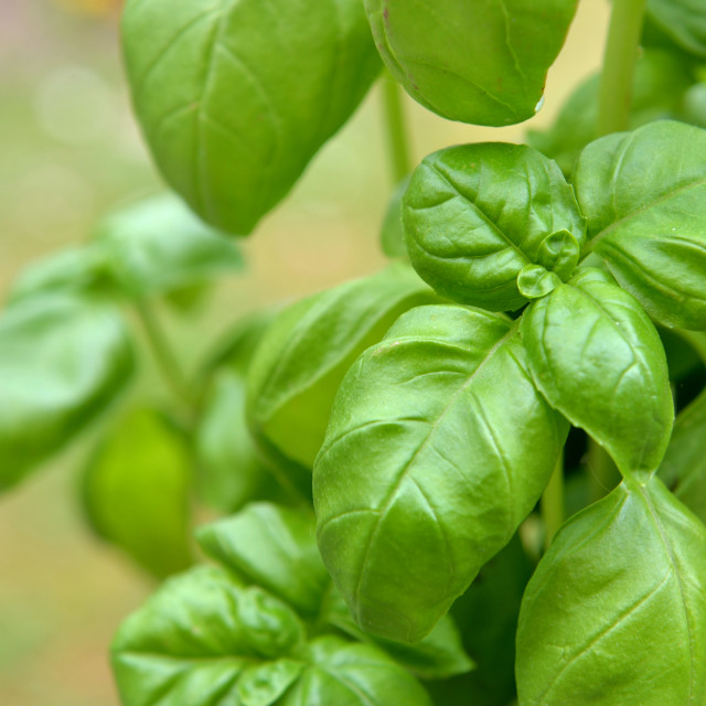 """""""close on freshness green leaf of basil growing in garden"""" stock image"""