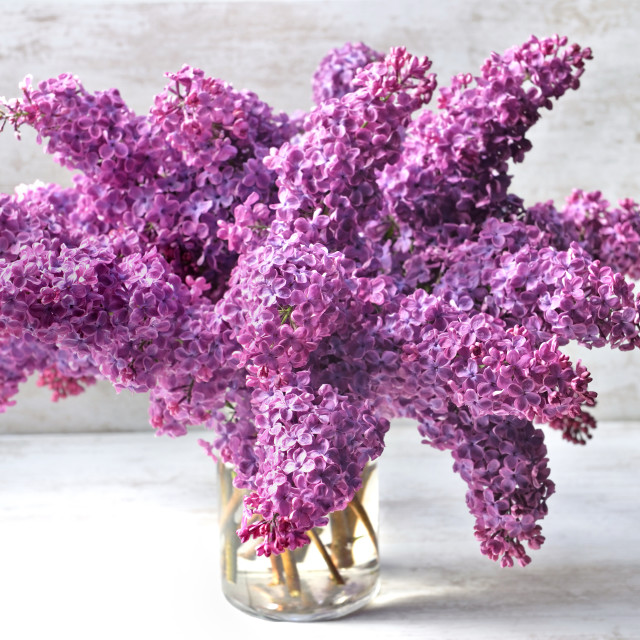 """""""beautiful bouquet of purple lilac flowers on a glass jar on whit"""" stock image"""