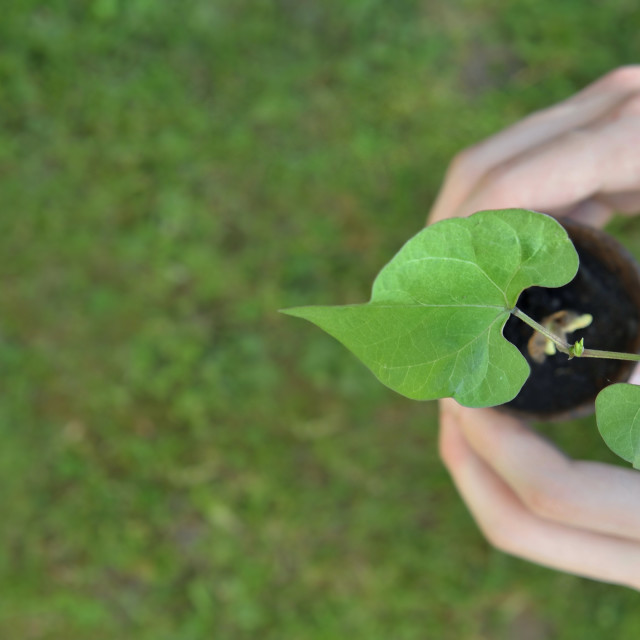 """""""panoramic view on hands o f a man holding seedling of bean growing in a pot on green background"""" stock image"""