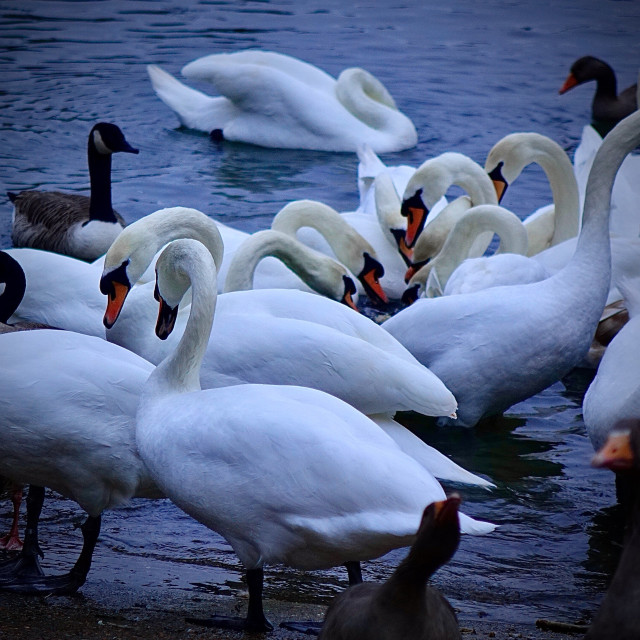 """""""Swans On The Thames"""" stock image"""
