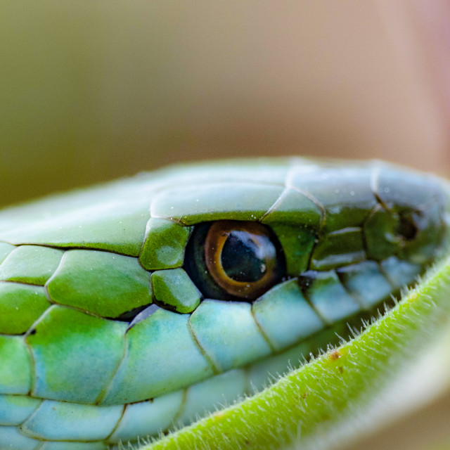 """""""Snake look"""" stock image"""