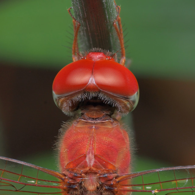 """""""Dragonfly Compound Eyes"""" stock image"""