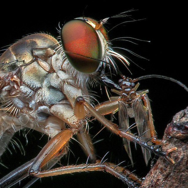 """""""Robberfly with Prey 01"""" stock image"""
