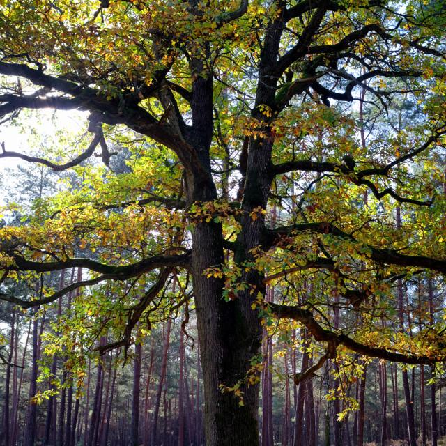 """The old oak tree"" stock image"