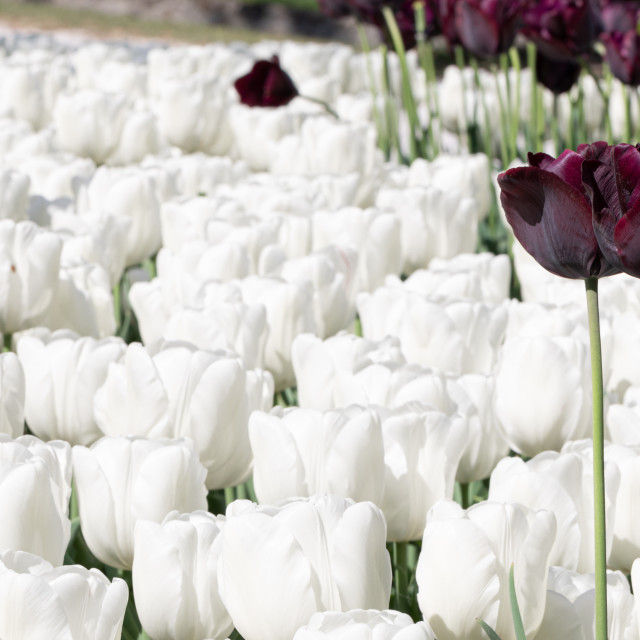 """White. Tulips. Flower. Nature. Garden. Flora"" stock image"