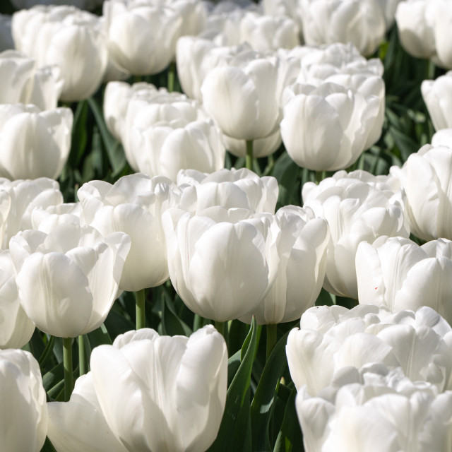 """White Tulips. Nature. Flower. Garden. Flora"" stock image"