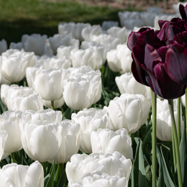 """White. Tulips. Nature. Flower. Garden. Flora"" stock image"