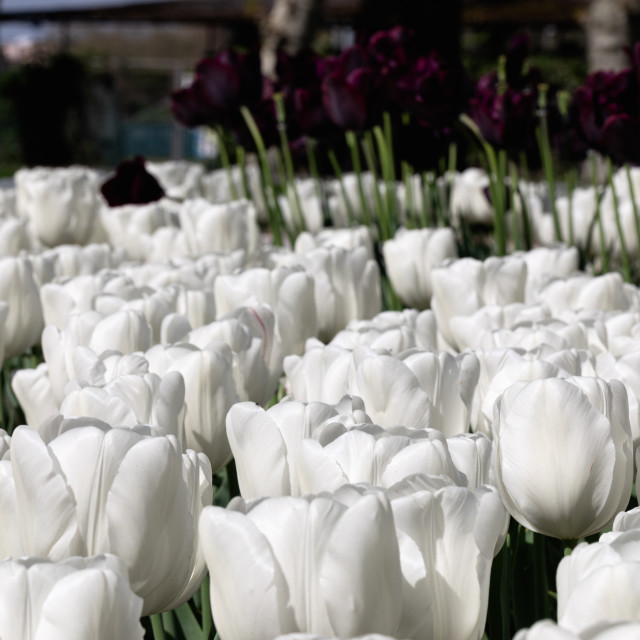 """White Tulips. Flower. Nature. Garden. Flora"" stock image"