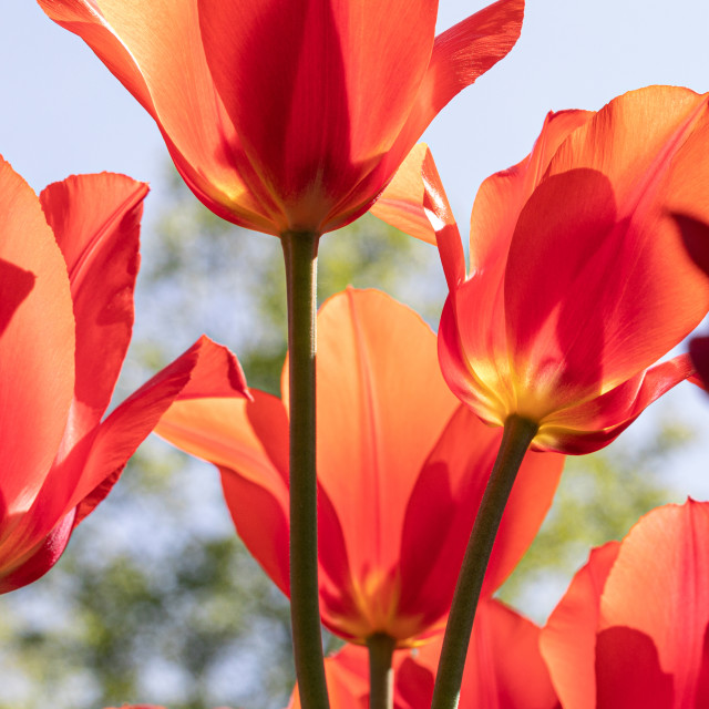 """Red Tulips. Flower. Nature. Garden. Flora"" stock image"