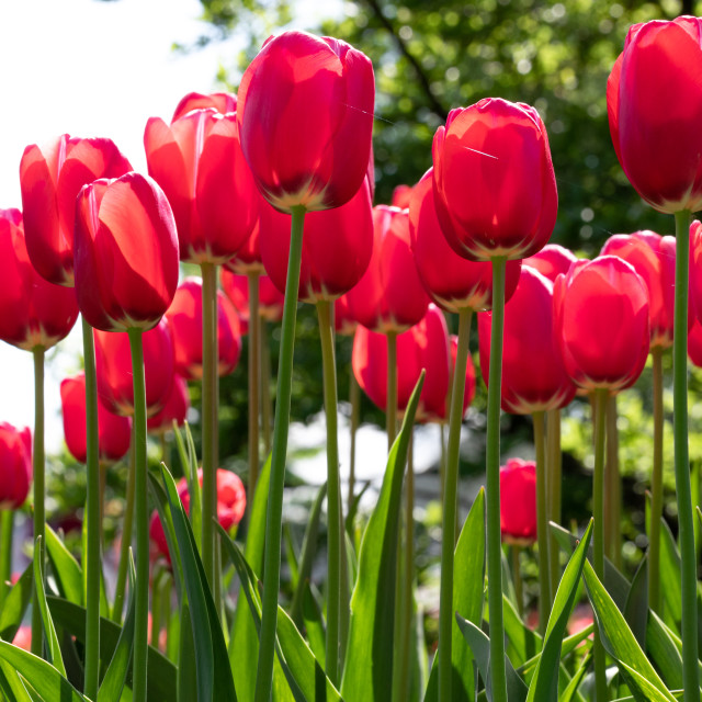 """Red. Tulips Flower. Garden. Nature. Flora"" stock image"