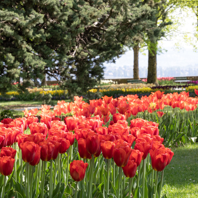 """Red. Tulips. Flower. Garden. Nature. Flora"" stock image"