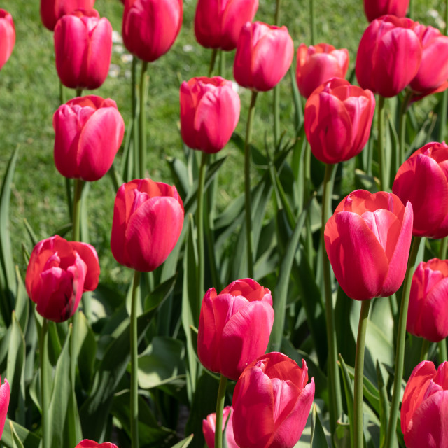 """Red. Tulips. Nature. Flower. Garden. Flora"" stock image"