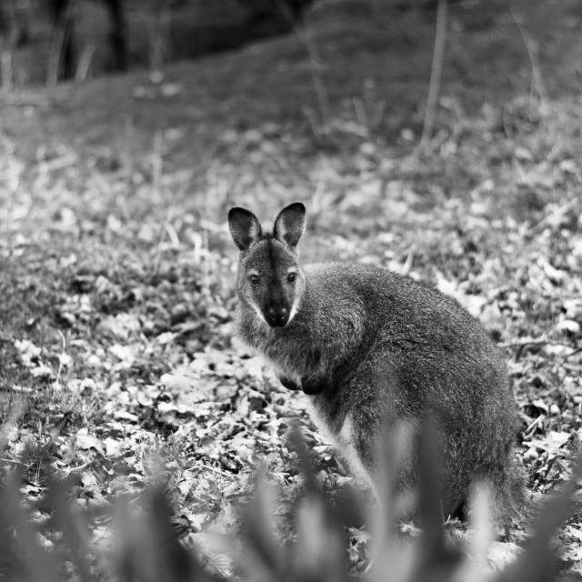 """Wallaby behind a bush"" stock image"