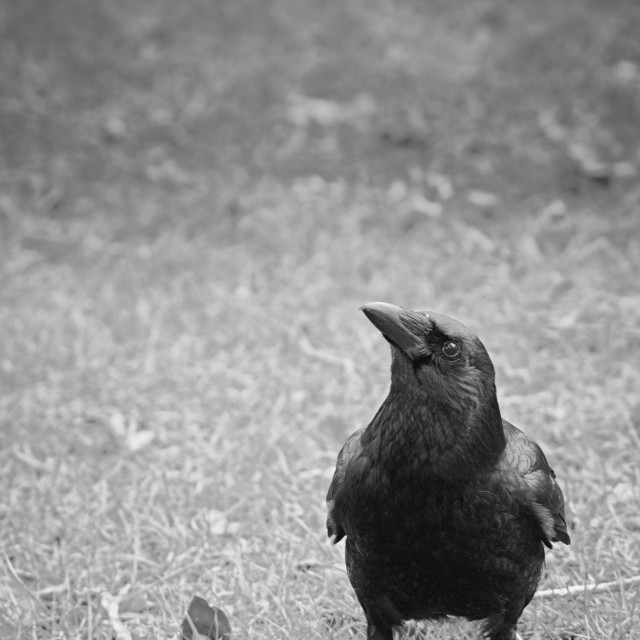 """Crow"" stock image"