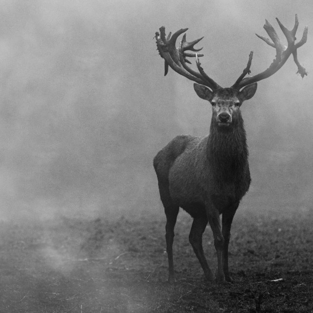 """Red Deer in the Mist (Landscape Version)"" stock image"