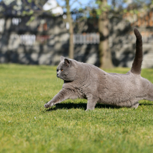 """English cat poses for outdoor photos."" stock image"