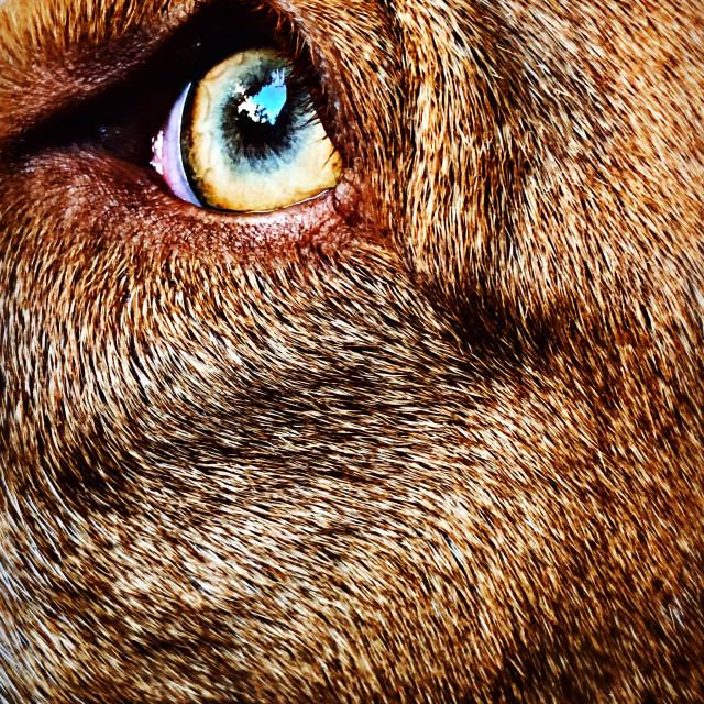 """""""Dog's eye"""" stock image"""