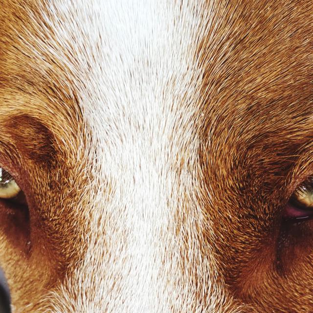 """""""Dog's two eyes"""" stock image"""