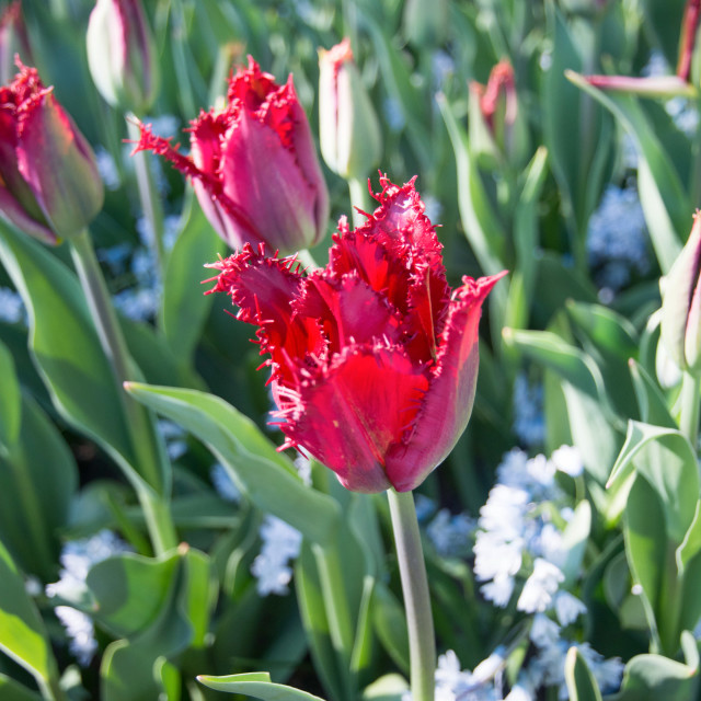 """Close-up of a fringed red tulip (Crispa tulip)"" stock image"
