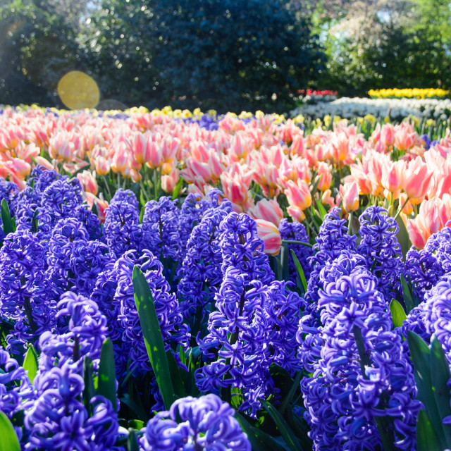 """Colorful hyacinths in a spotlight blooming in a park"" stock image"